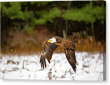 Bald Eagle In Snowstorm Canvas Print by CJ Park
