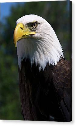 Canvas Print featuring the photograph Bald Eagle by JT Lewis