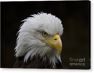 Bald Eagle Looking For Food Canvas Print