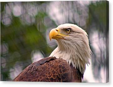 Bald Eagle Majestic Canvas Print by David Rucker