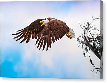 Bald Eagle  Canvas Print by Mark Andrew Thomas