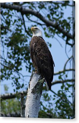 Bald Eagle On The Brule Canvas Print by Ron Read