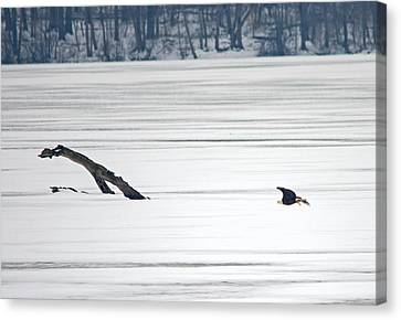 Bald Eagle Over Middle Creek Canvas Print