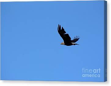 Bald Eagle Over Roseland Lake Canvas Print by Neal Eslinger