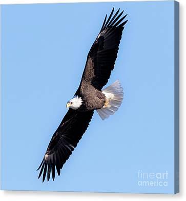 Bald Eagle Overhead  Canvas Print by Ricky L Jones
