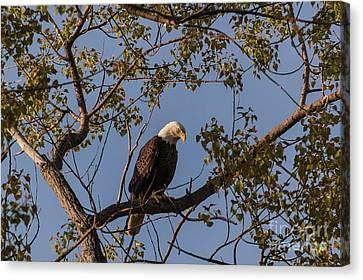 Bald Eagle Canvas Print by Patrick Shupert