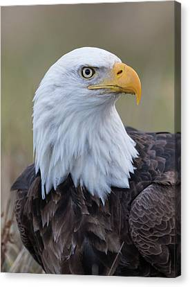 Canvas Print featuring the photograph Bald Eagle Portrait 2 by Angie Vogel
