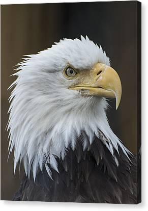 Bald Eagle Portrait Canvas Print