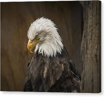 Bald Eagle Canvas Print by Robin Williams