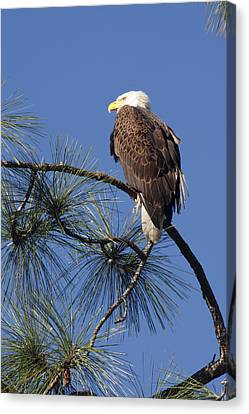 Bald Eagle Canvas Print by Sally Weigand