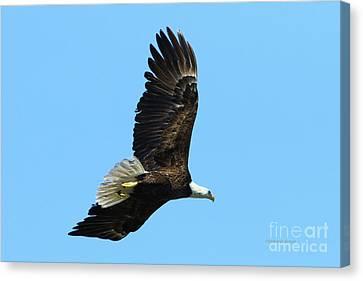 Canvas Print featuring the photograph Bald Eagle Series IIi by Deborah Benoit