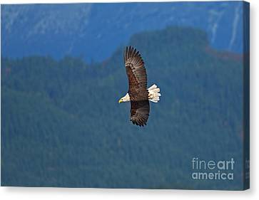 Canvas Print featuring the photograph Bald Eagle Soaring  by Sharon Talson