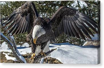 Bald Eagle Spread Canvas Print