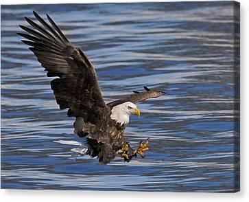 Bald Eagle Strike Canvas Print