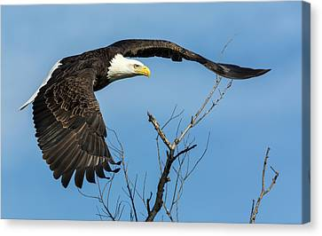 Bald Eagle Swoosh Canvas Print