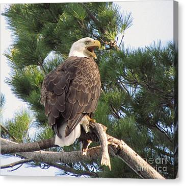 Bald Eagle With Fish For Her Baby Eaglets Canvas Print