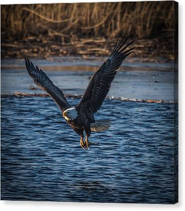 Bald Eagle With Fish Canvas Print by Paul Freidlund