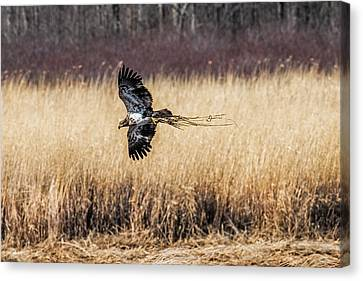Bald Eagle With Nesting Material Canvas Print by Paul Freidlund
