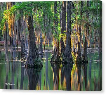 Baldcypress Trees, Louisiana Canvas Print