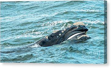 Baleen Whale Surfaces Canvas Print by Tim Hester