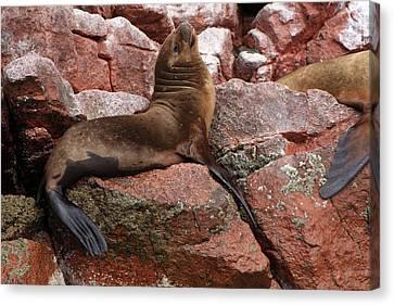 Canvas Print featuring the photograph Ballestas Island Fur Seals by Aidan Moran