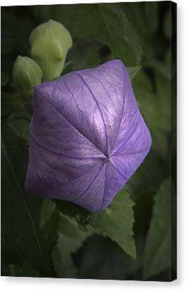 Balloon Flower Canvas Print by Nancy Griswold