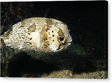 Balloonfish Profile Puffer Fish, Diodon Canvas Print by James Forte