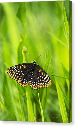 Baltimore Checkerspot Butterfly Canvas Print by Christina Rollo