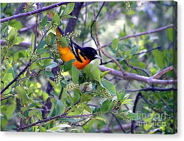 Baltimore Northern Oriole Canvas Print