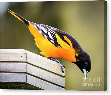 Canvas Print featuring the photograph Baltimore Oriole About To Jump by Ricky L Jones