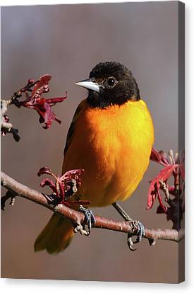 Baltimore Oriole II Canvas Print
