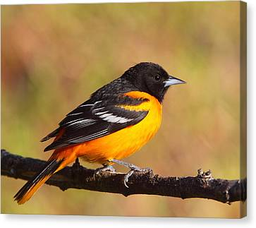 Baltimore Oriole IIi Canvas Print