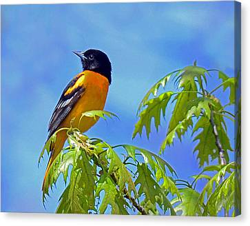 Canvas Print featuring the photograph Baltimore Oriole In An Oak Tree by Rodney Campbell