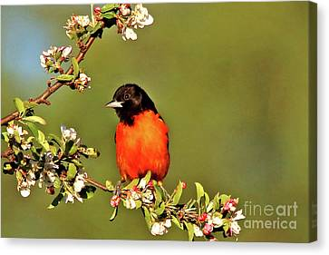 Baltimore Oriole Canvas Print by James F Towne