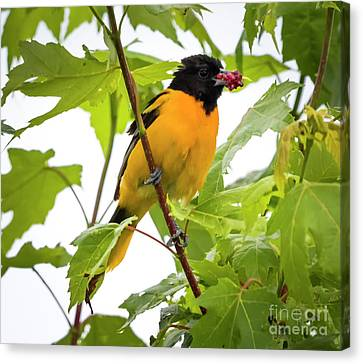 Canvas Print featuring the photograph Baltimore Oriole With Raspberry  by Ricky L Jones