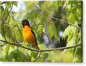 Baltimore Orioles  Canvas Print by Nancy TeWinkel Lauren