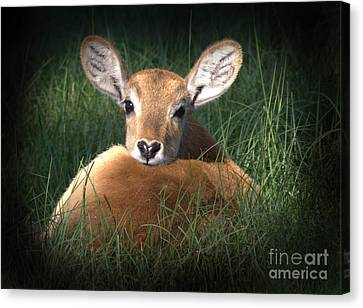 Bambi Canvas Print by Kim Henderson
