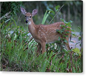 Bambi Canvas Print by Rick Friedle