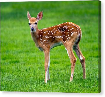 Bambi Canvas Print by Timothy McIntyre