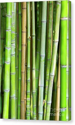 Bamboo Background Canvas Print by Carlos Caetano