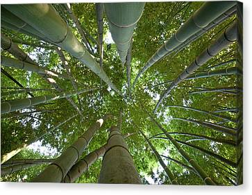 Bamboo Forest Canvas Print by Tom Clabough
