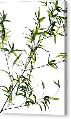 Bamboo Leaves Canvas Print by Tim Gainey