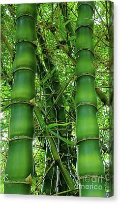 Bamboo Canvas Print by Loriannah Hespe