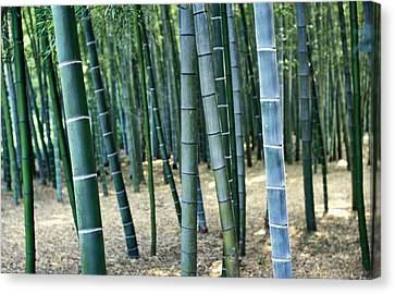 Bamboo Tree Forest, Close Up Canvas Print by Axiom Photographic