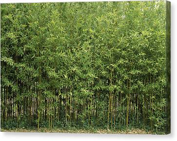 Bamboo Trees In A Forest, Fukuoka Canvas Print