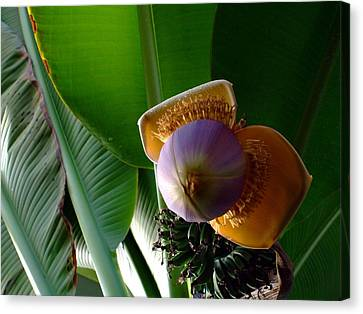 Banana Bloom Canvas Print by Mindy Newman