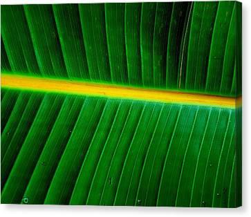 Banana Plant Leaf Canvas Print