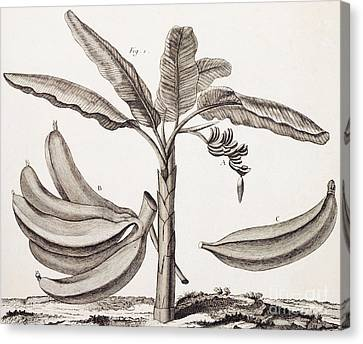 Banana Canvas Print - Banana Tree by Denis Diderot