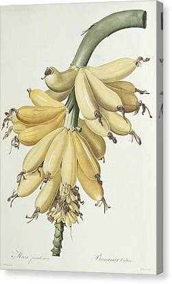 Bananas Canvas Print by Pierre Joseph Redoute