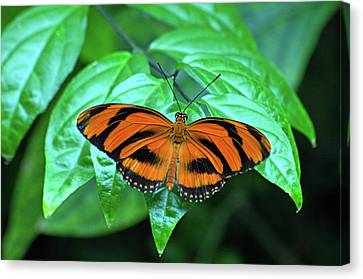 Banded Orange Longwing Butterfly Canvas Print by Cheryl Cencich